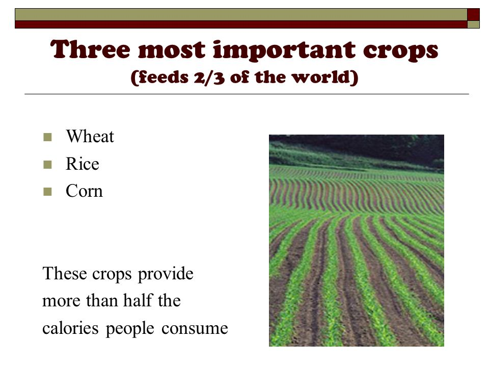 Three most important crops (feeds 2/3 of the world)