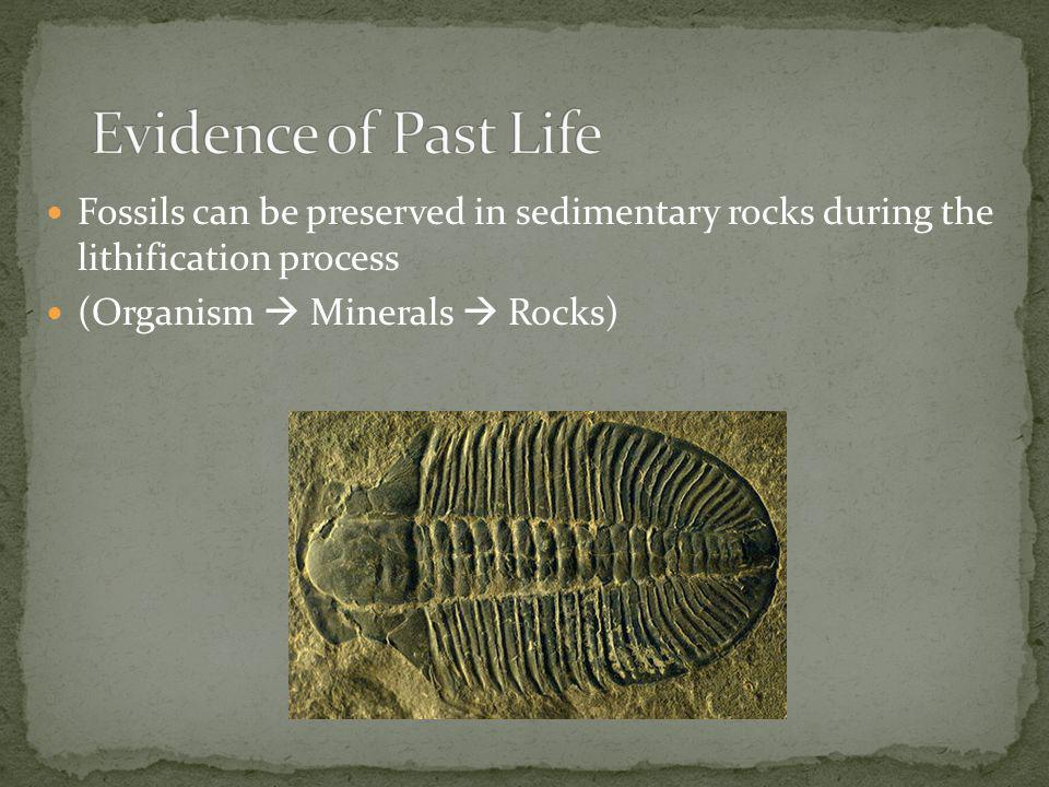 Evidence of Past Life Fossils can be preserved in sedimentary rocks during the lithification process.