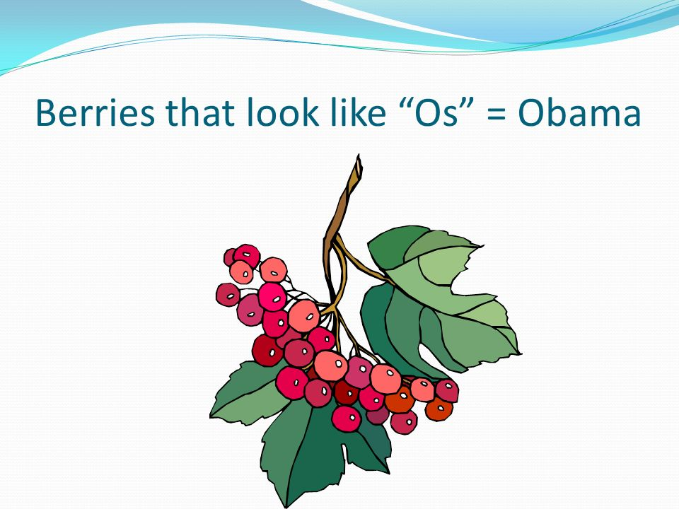 Berries that look like Os = Obama