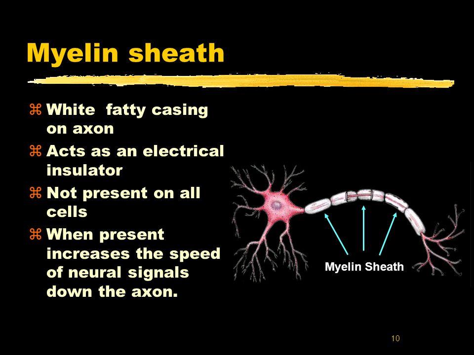 Myelin sheath White fatty casing on axon