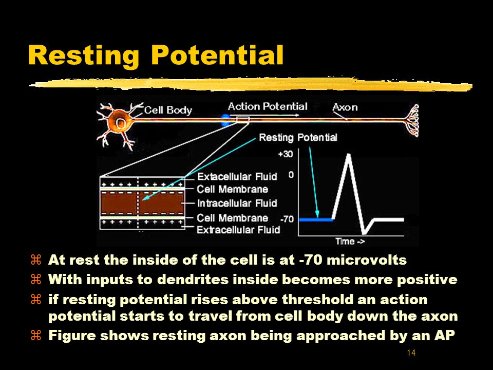Resting Potential At rest the inside of the cell is at -70 microvolts