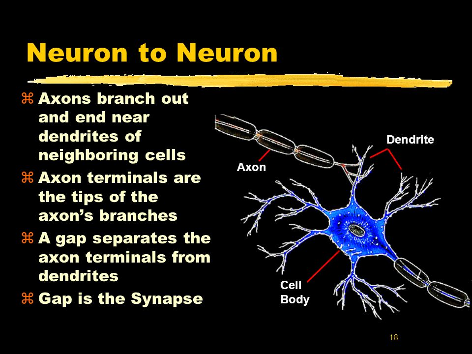 Neuron to Neuron Axons branch out and end near dendrites of neighboring cells. Axon terminals are the tips of the axon's branches.