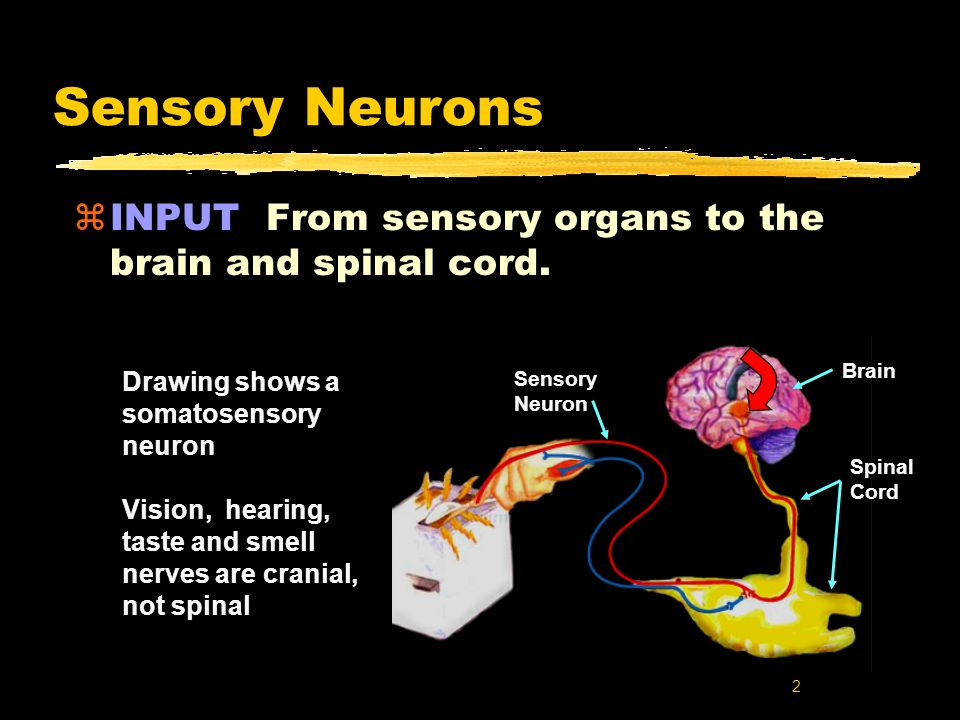 Sensory Neurons INPUT From sensory organs to the brain and spinal cord. Brain. Drawing shows a somatosensory neuron.