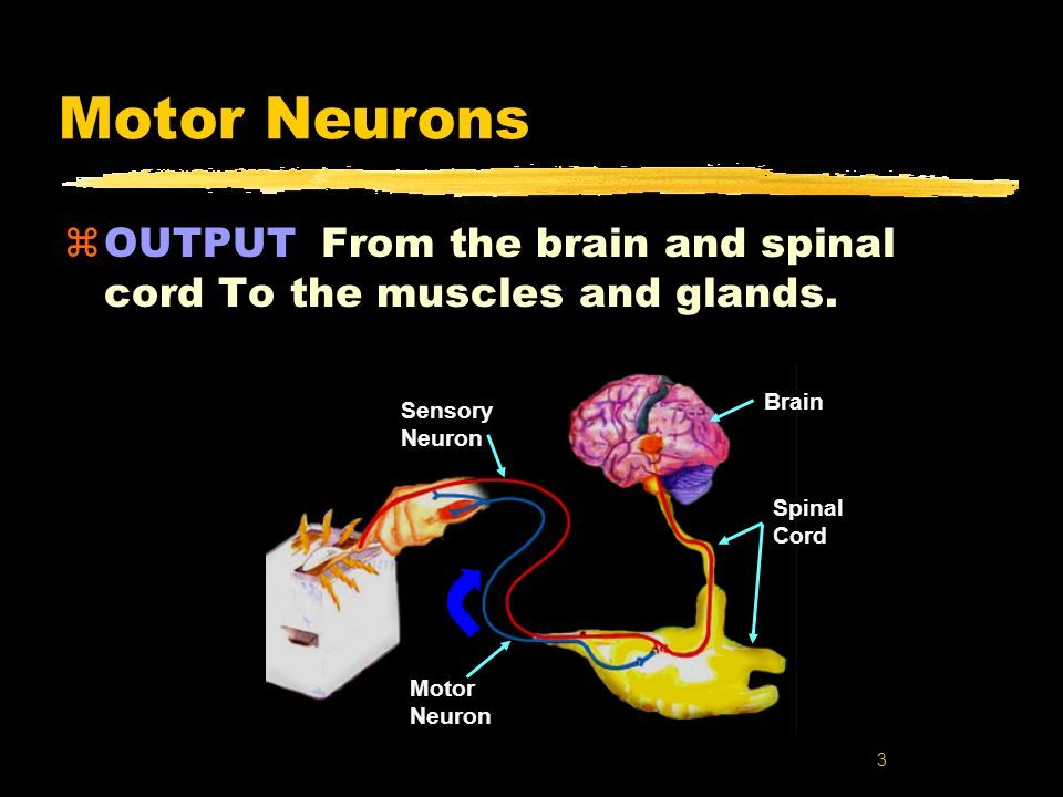 Motor Neurons OUTPUT From the brain and spinal cord To the muscles and glands. Spinal. Cord. Brain.