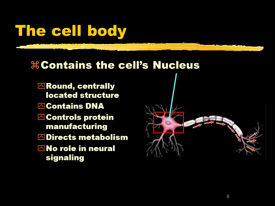 The cell body Contains the cell's Nucleus