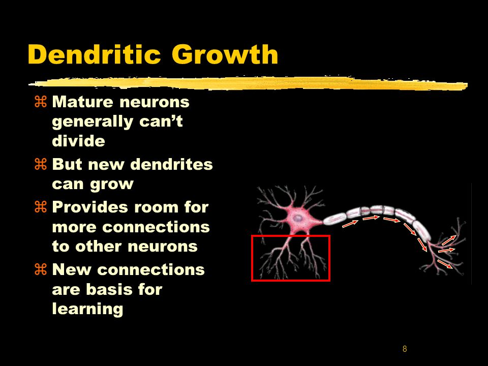 Dendritic Growth Mature neurons generally can't divide