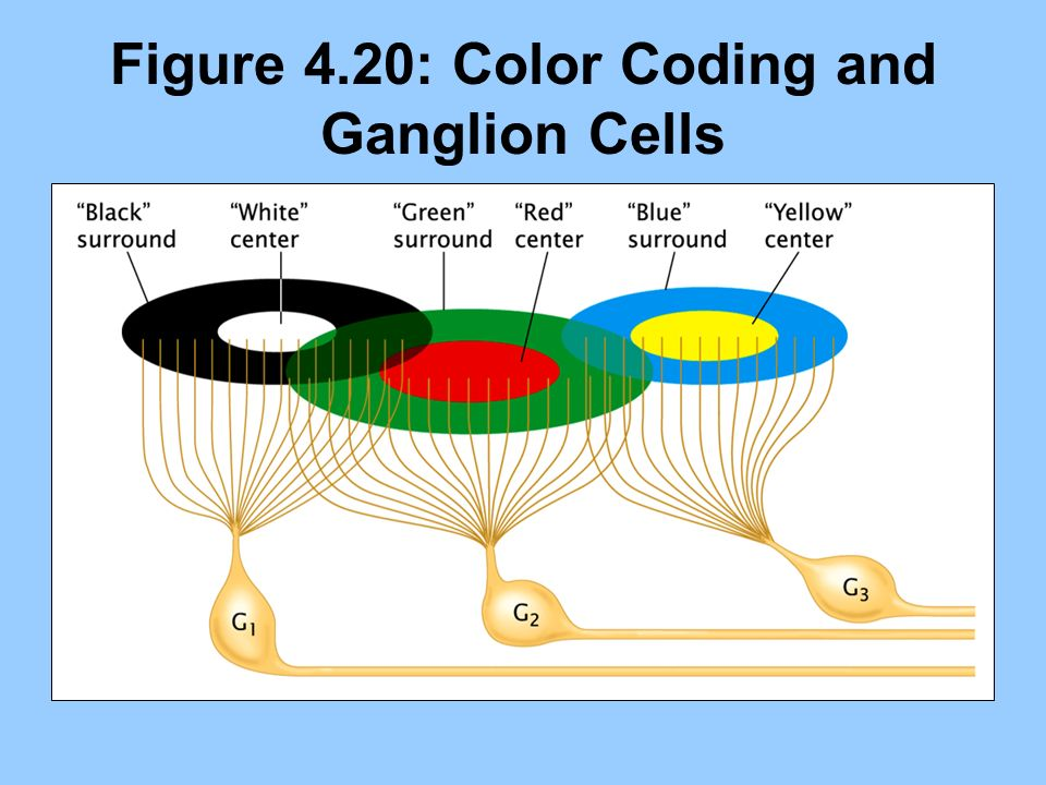 Figure 4.20: Color Coding and Ganglion Cells