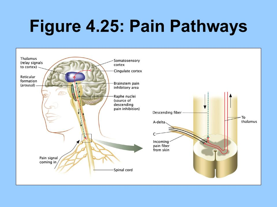 Figure 4.25: Pain Pathways
