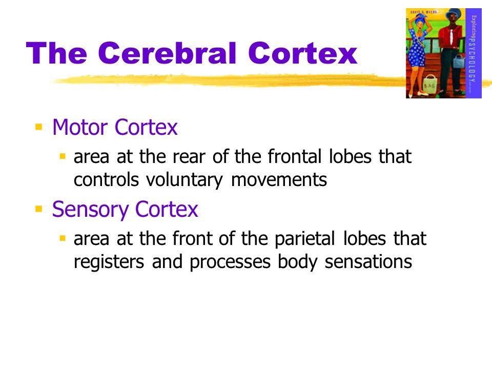 The Cerebral Cortex Motor Cortex Sensory Cortex