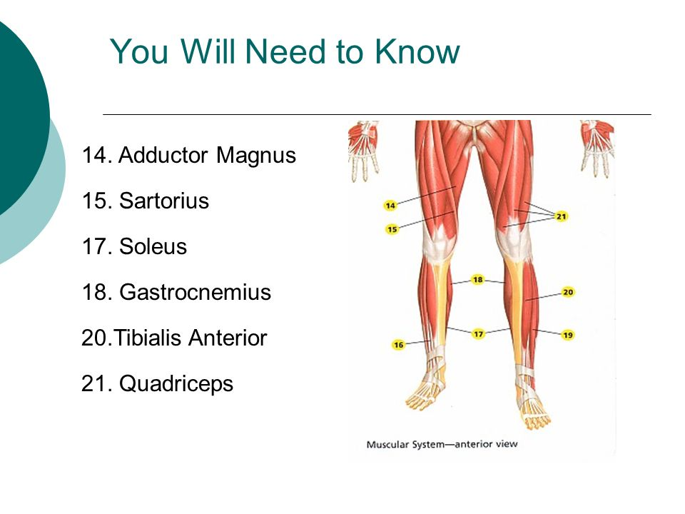 You Will Need to Know 14. Adductor Magnus 15. Sartorius 17. Soleus