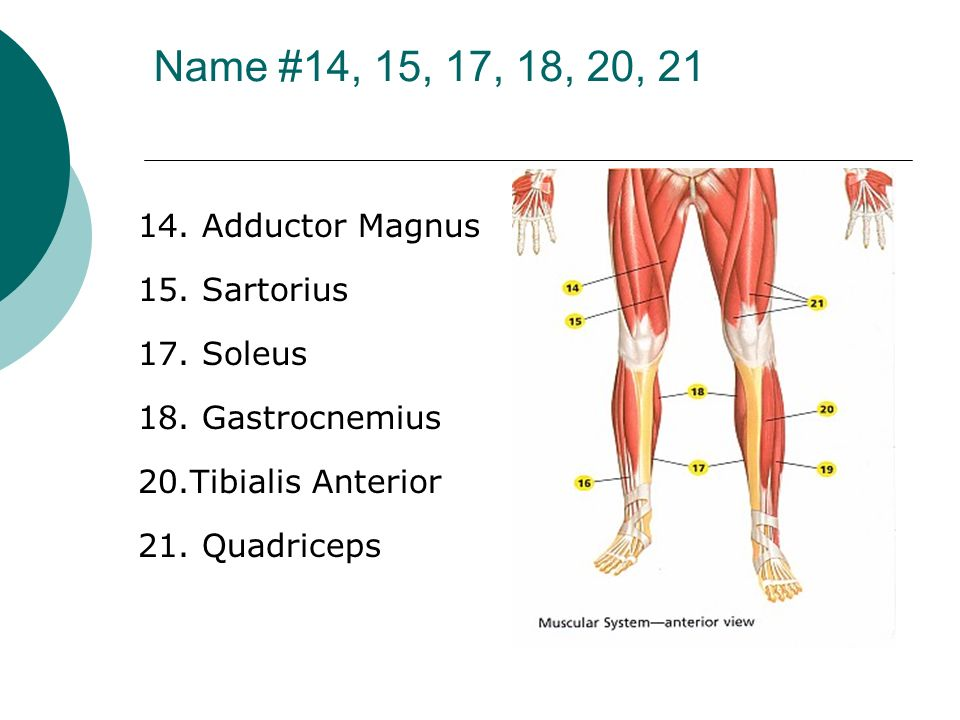 Name #14, 15, 17, 18, 20, 21 14. Adductor Magnus 15. Sartorius