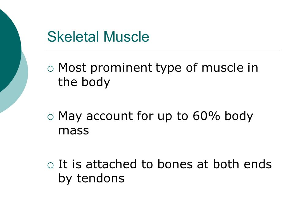 Skeletal Muscle Most prominent type of muscle in the body
