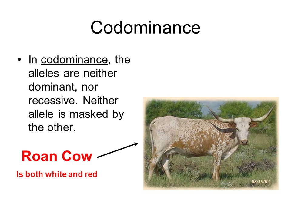 Codominance In codominance, the alleles are neither dominant, nor recessive. Neither allele is masked by the other.