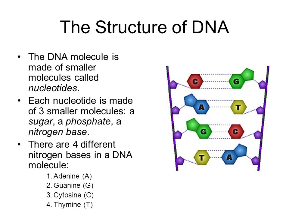 The Structure of DNA The DNA molecule is made of smaller molecules called nucleotides.