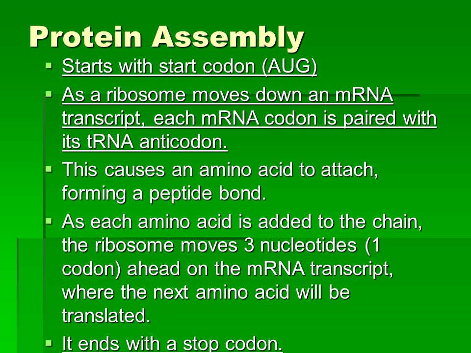 Protein Assembly Starts with start codon (AUG)