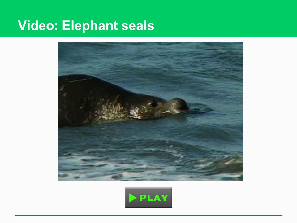 Video: Elephant seals