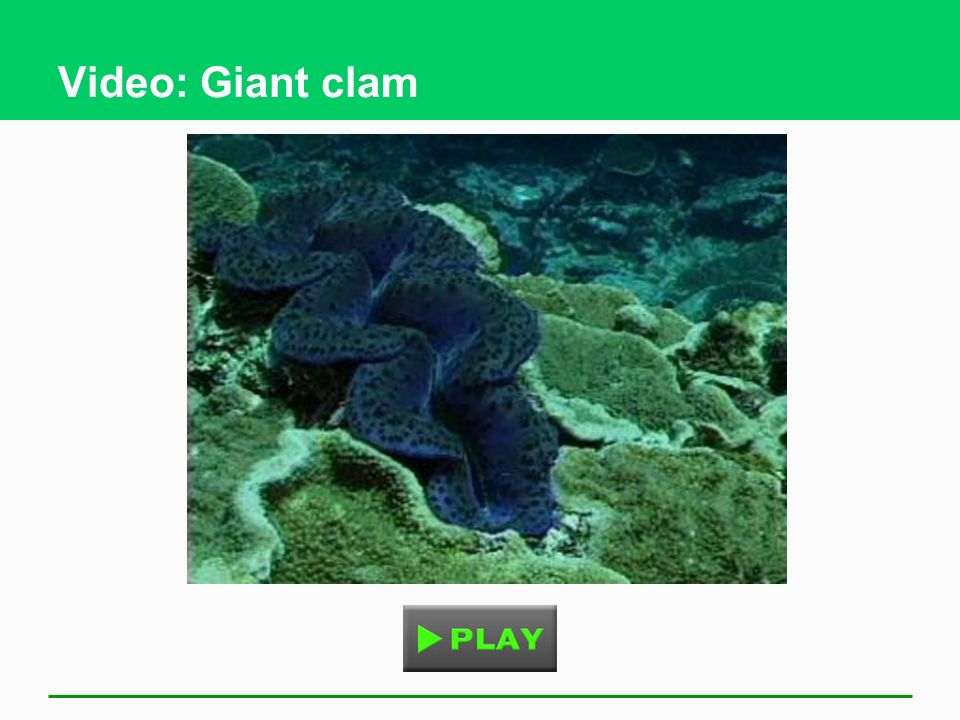 Video: Giant clam