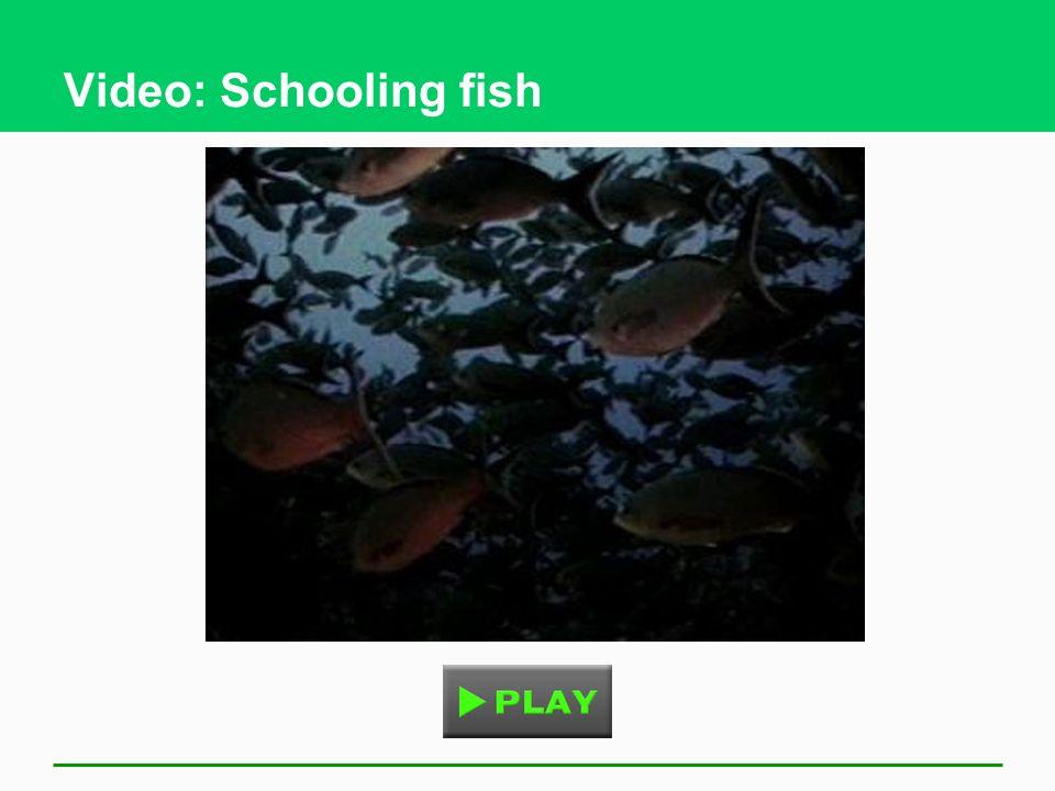 Video: Schooling fish