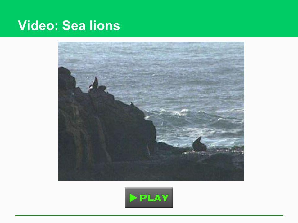 Video: Sea lions