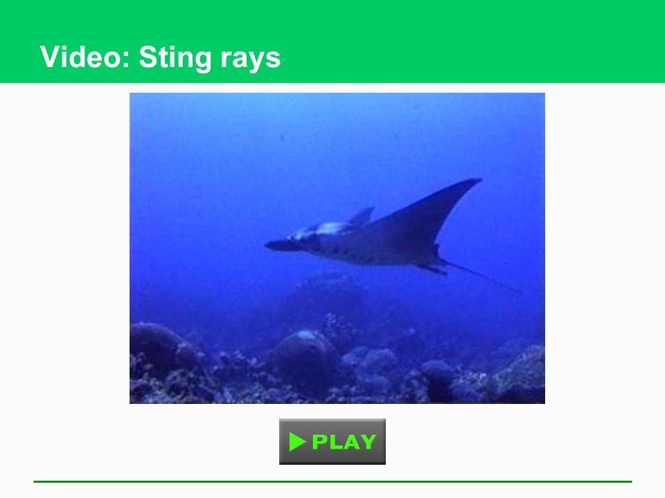 Video: Sting rays