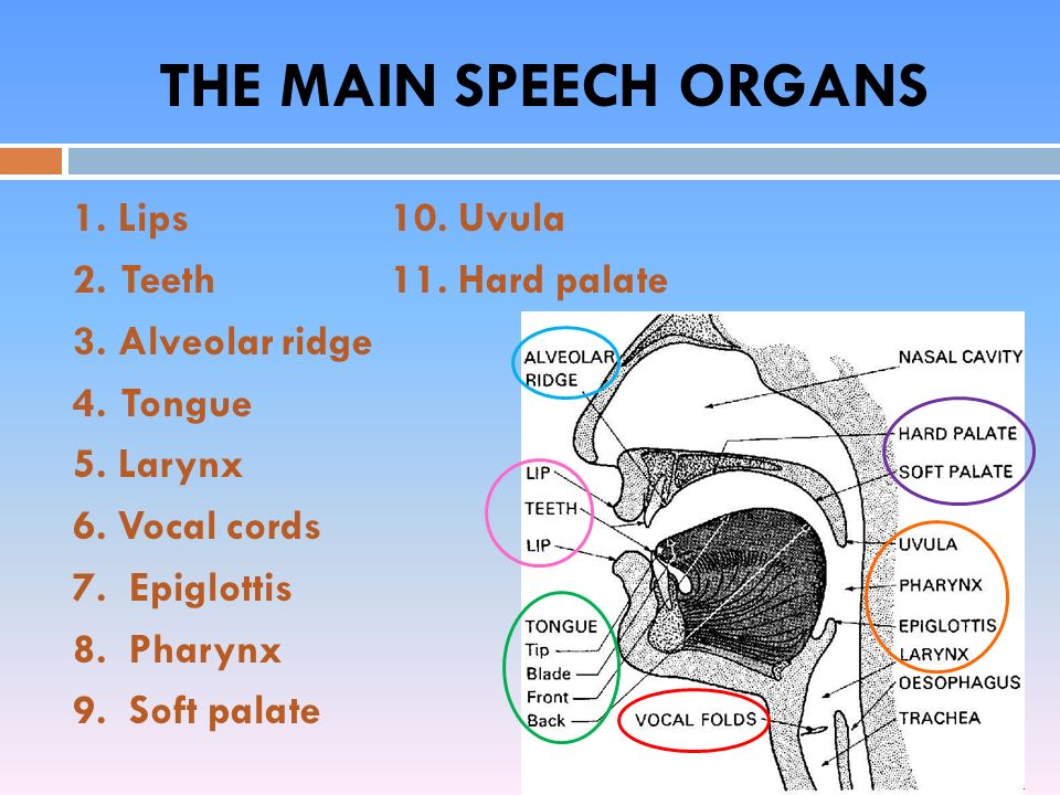 Speech organs articulation ppt video online download the main speech organs ccuart Choice Image