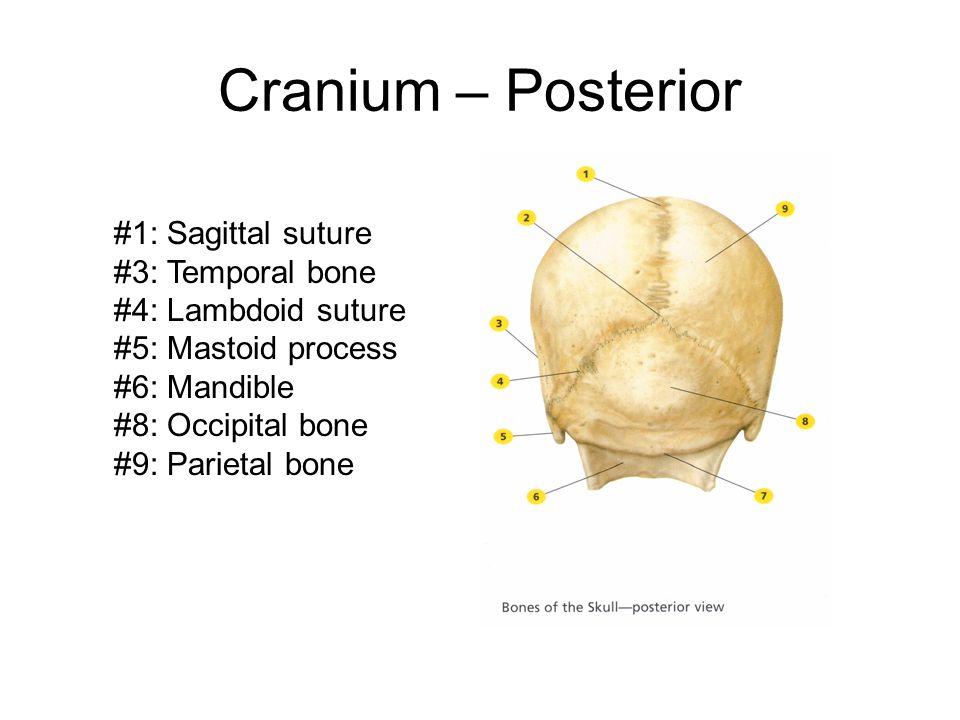Cranium – Posterior #1: Sagittal suture #3: Temporal bone