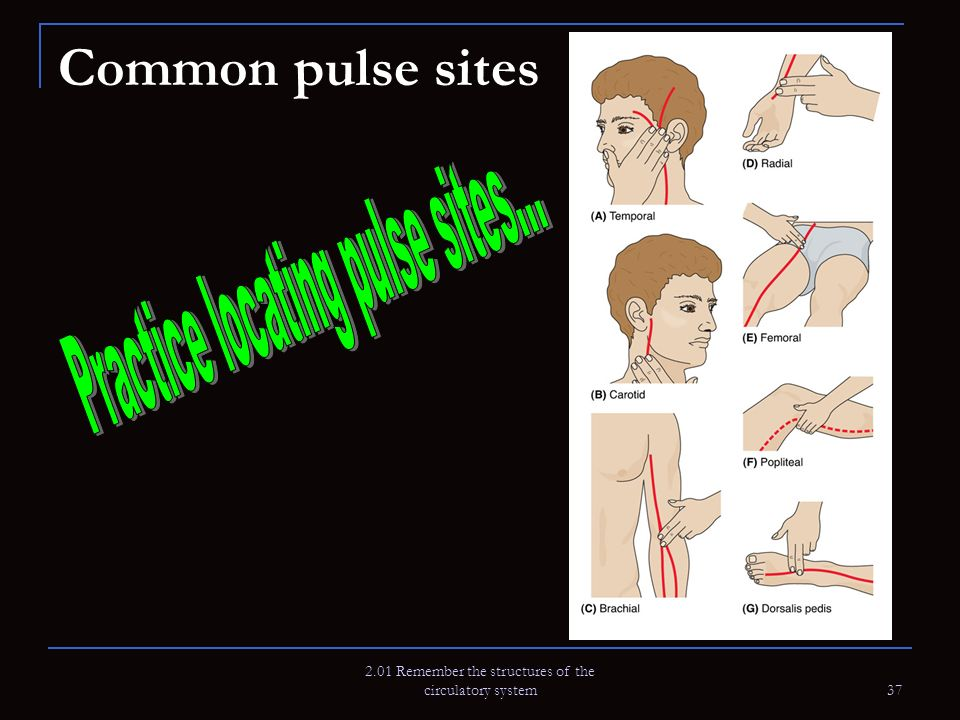 Common pulse sites Practice locating pulse sites...