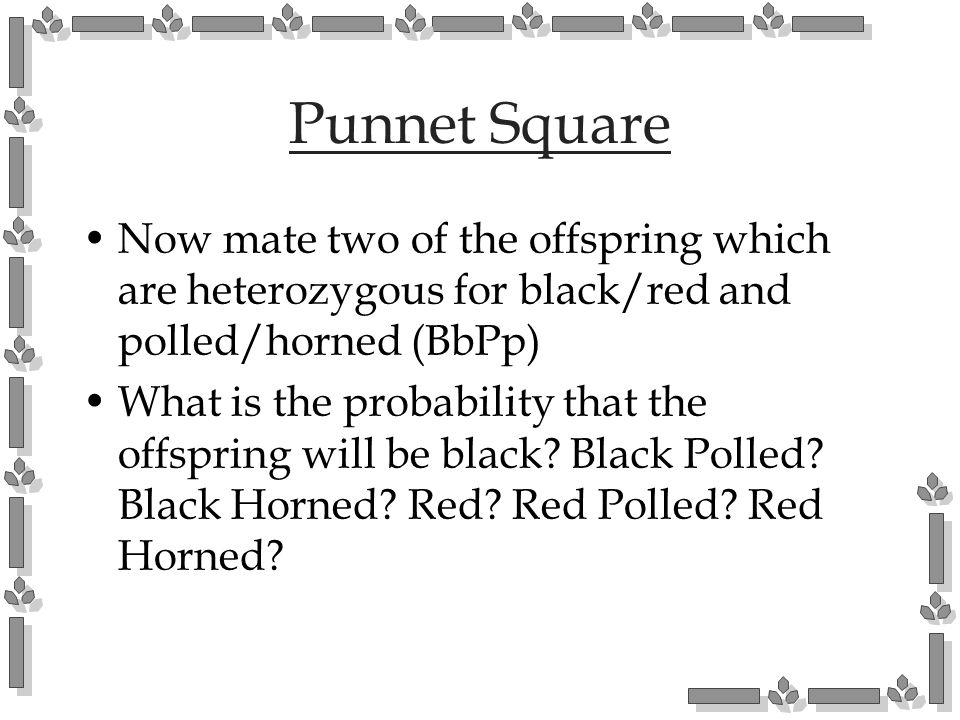 Punnet Square Now mate two of the offspring which are heterozygous for black/red and polled/horned (BbPp)