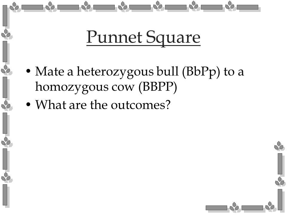 Punnet Square Mate a heterozygous bull (BbPp) to a homozygous cow (BBPP) What are the outcomes