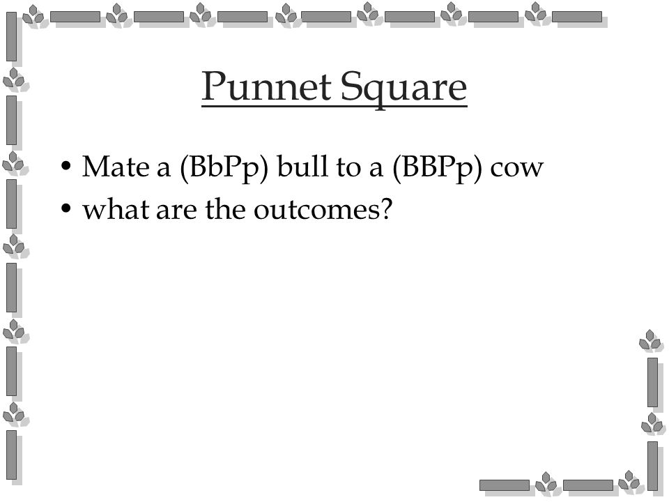 Punnet Square Mate a (BbPp) bull to a (BBPp) cow