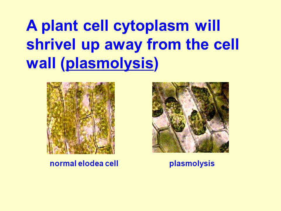 A plant cell cytoplasm will shrivel up away from the cell wall (plasmolysis)