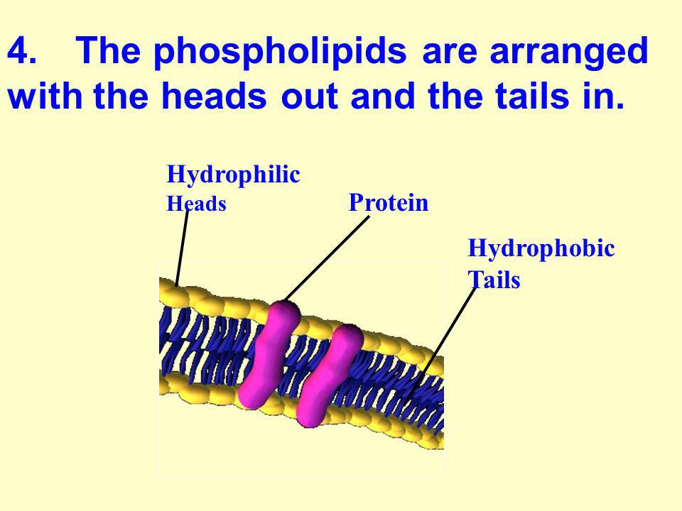 4. The phospholipids are arranged with the heads out and the tails in.