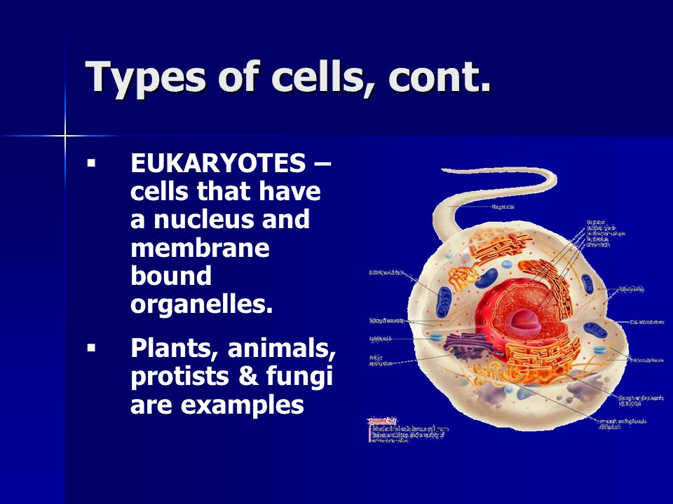 Types of cells, cont. EUKARYOTES – cells that have a nucleus and membrane bound organelles.