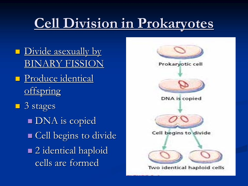 Cell Division in Prokaryotes