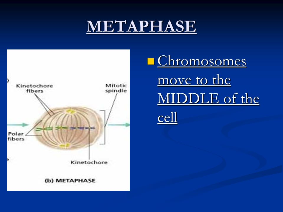 METAPHASE Chromosomes move to the MIDDLE of the cell