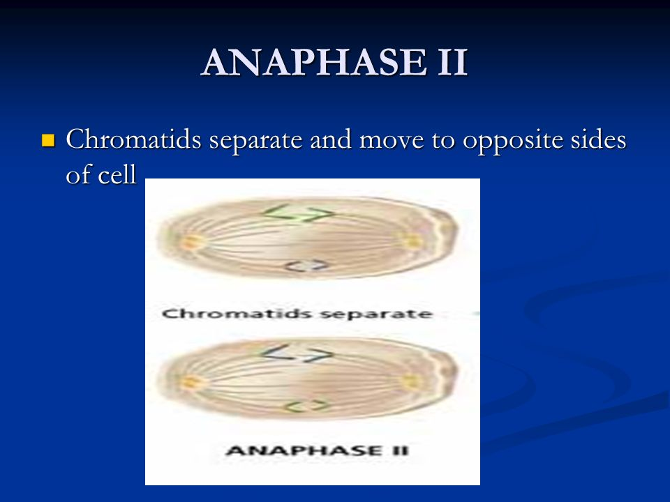 ANAPHASE II Chromatids separate and move to opposite sides of cell