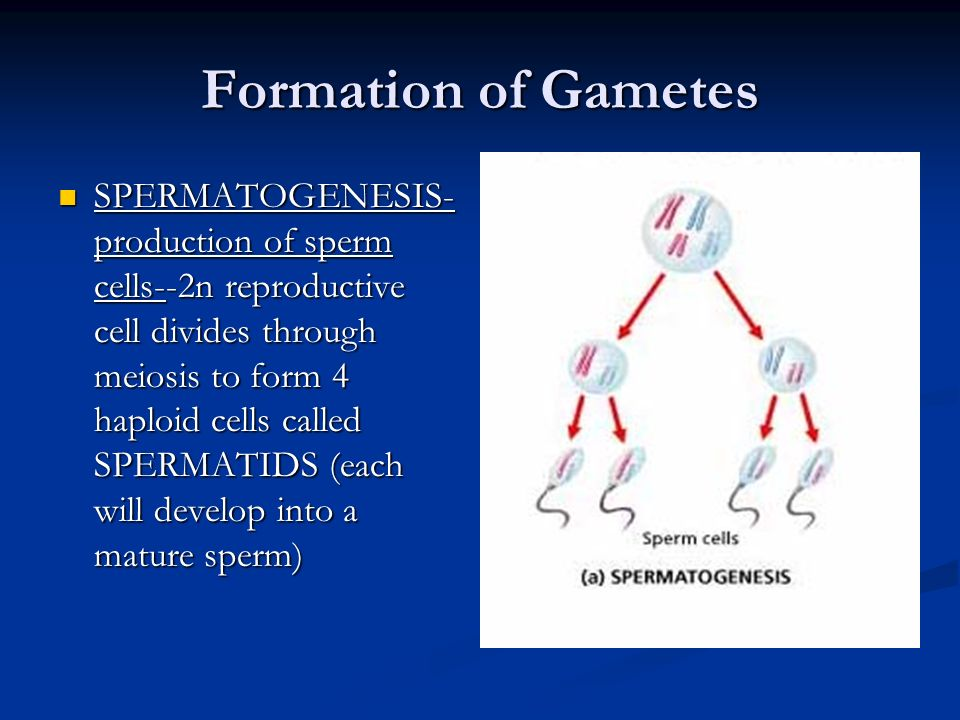 Formation of Gametes