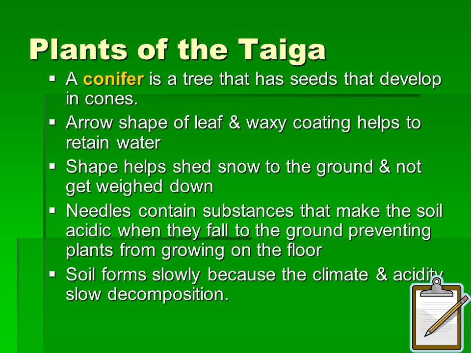 Plants of the Taiga A conifer is a tree that has seeds that develop in cones. Arrow shape of leaf & waxy coating helps to retain water.