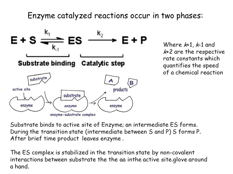 Enzymes important functions of proteins > catalysts ...