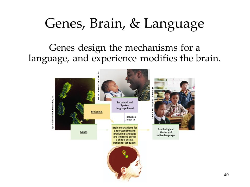 Genes, Brain, & Language Genes design the mechanisms for a language, and experience modifies the brain.