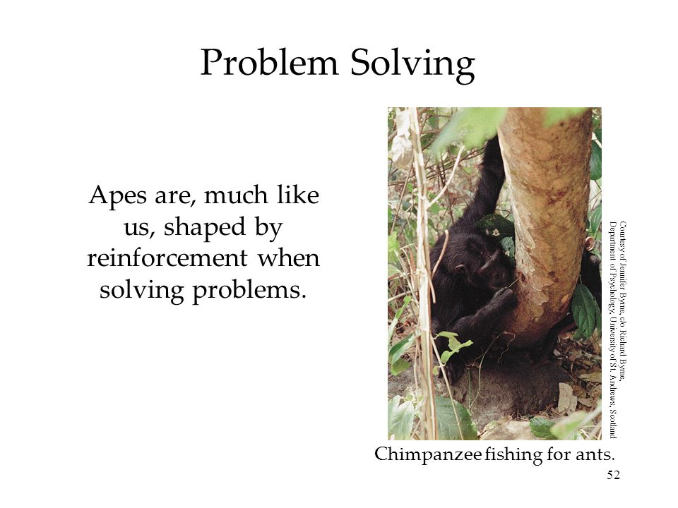 Apes are, much like us, shaped by reinforcement when solving problems.