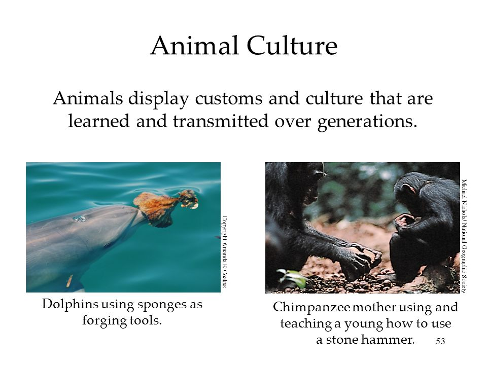 Animal Culture Animals display customs and culture that are learned and transmitted over generations.