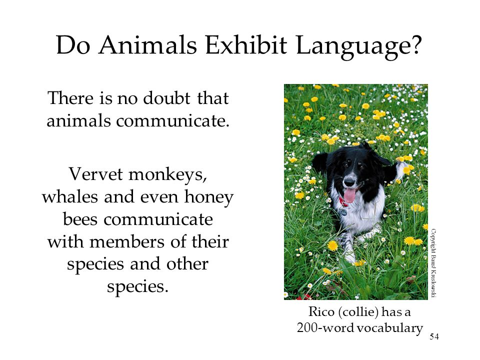 Do Animals Exhibit Language