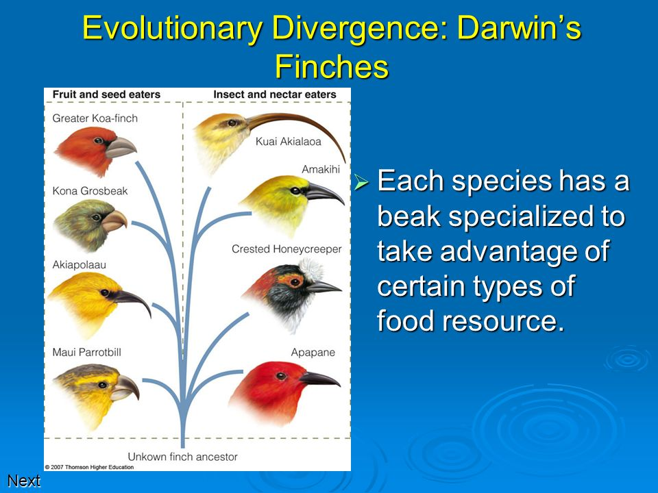Evolutionary Divergence: Darwin's Finches