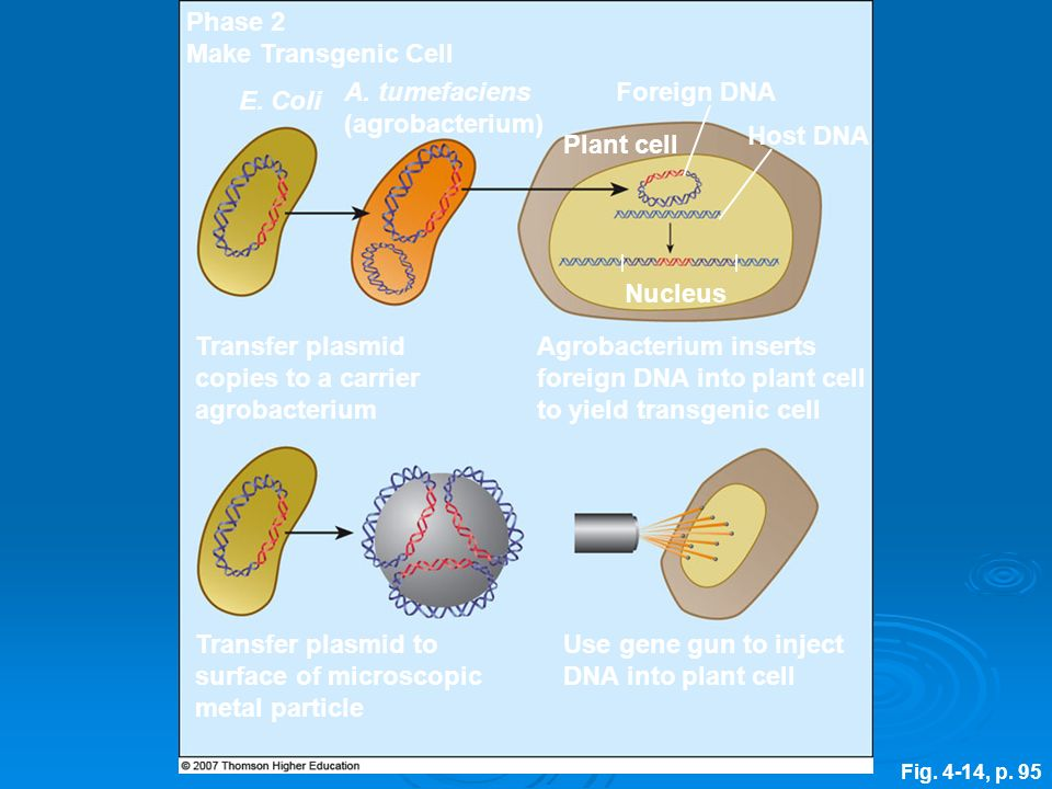 Transfer plasmid copies to a carrier agrobacterium
