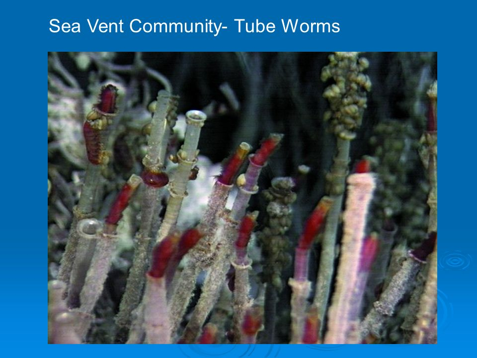 Sea Vent Community- Tube Worms