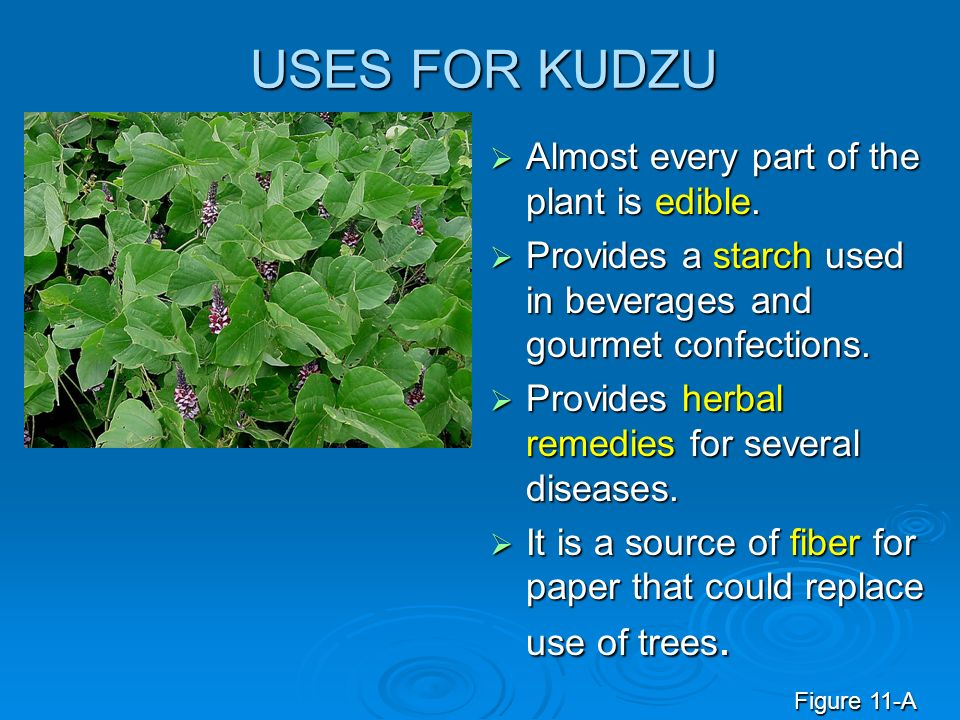 USES FOR KUDZU Almost every part of the plant is edible.