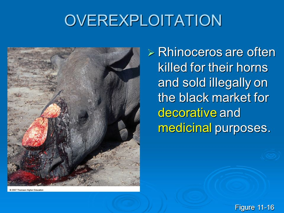 OVEREXPLOITATION Rhinoceros are often killed for their horns and sold illegally on the black market for decorative and medicinal purposes.