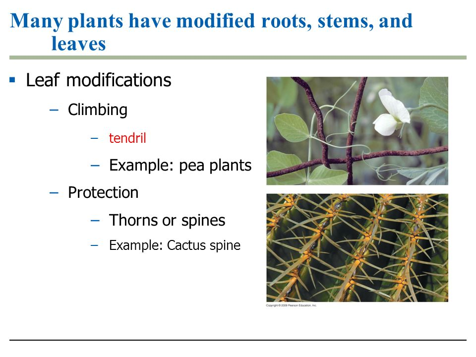 Many plants have modified roots, stems, and leaves