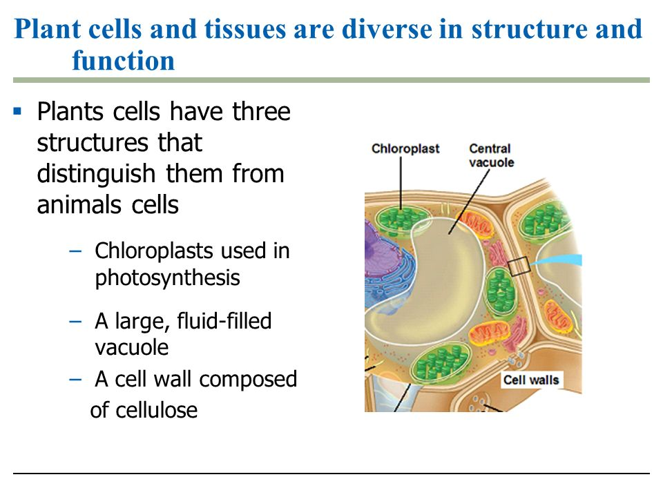 Plant cells and tissues are diverse in structure and function